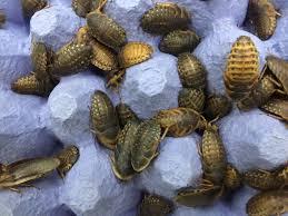 Dubia Roaches Medium