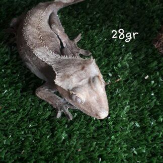 Crested Geckos - Adult Female