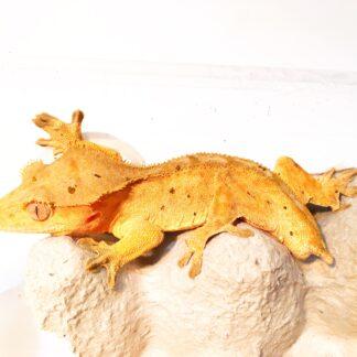 Juvenile female crested gecko